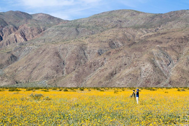 superbloom in anza borrego desert