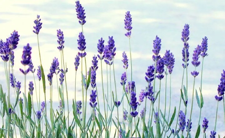 GALLERY LAVENDER PICTURES