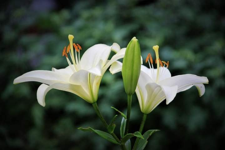 A Complete Guide on How to Grow Lily Flowers