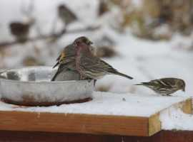 Elko Christmas Bird Count