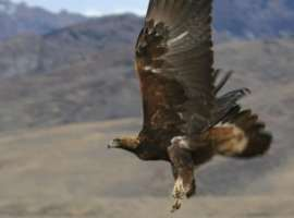 Golden Eagle - Elko's Wintering Eagles