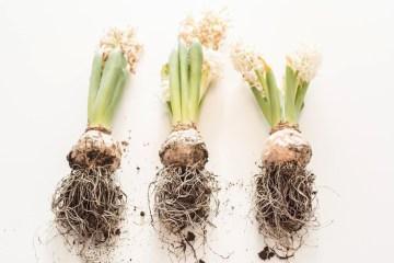 Hyacinths • everythingelze.com
