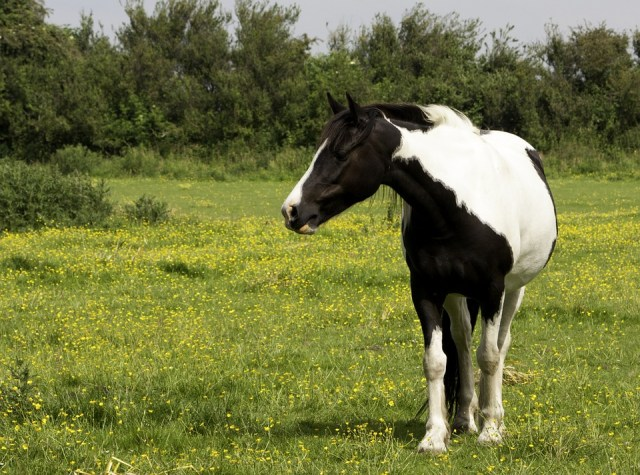 Fat Horse ? Obesity Management in Horses and Ponies