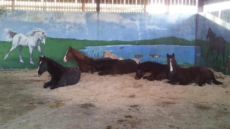 Stable - Youngsters relax in group housing barn