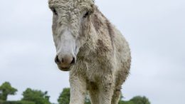 Delilah, the Donkey, in World Horse Welfare's care
