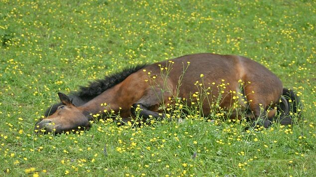A colicing horse will need immediate veterinary attention