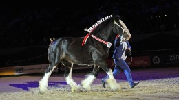 Horse of the year show Worcestershire based Field Equine Vets will be co-sponsor of the Shire Horse of the Year Championship