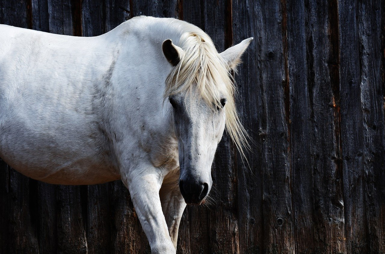 Aggressive Equine - image of a grey horse for illustration