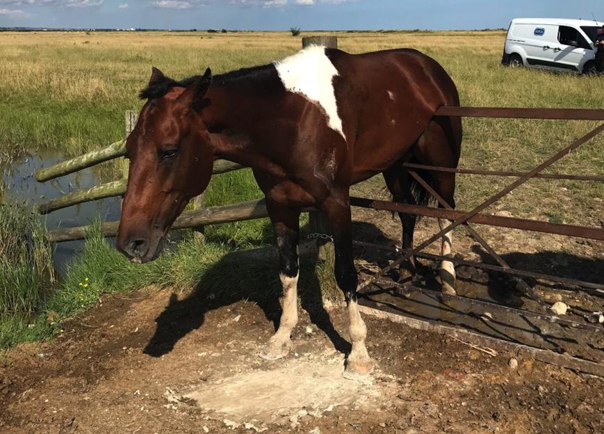 stallion stuck on gate
