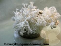 Brown Rice Flour Mushroom Cake Substrate Jars - Wood Supplemented