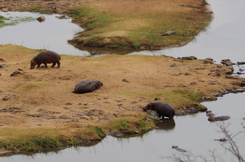 Hippos im Olifants River