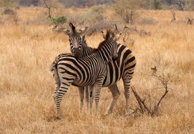 Zebras im Kruger NP