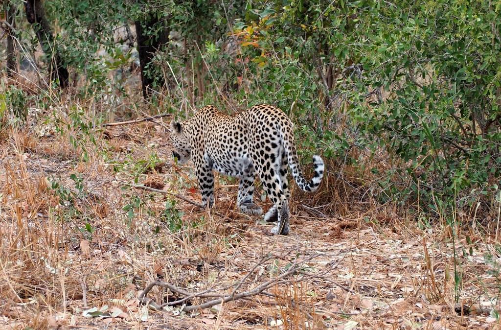 Leopard im Kruger NP