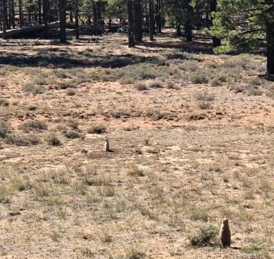 Prairie Dogs, Bryce Canyon, Utah
