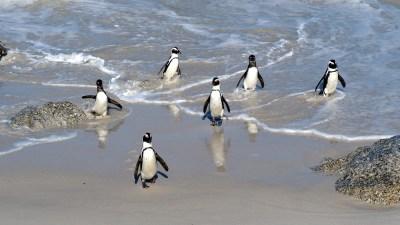 Pinguine torkeln an Land