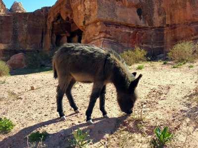 Esel in Petra