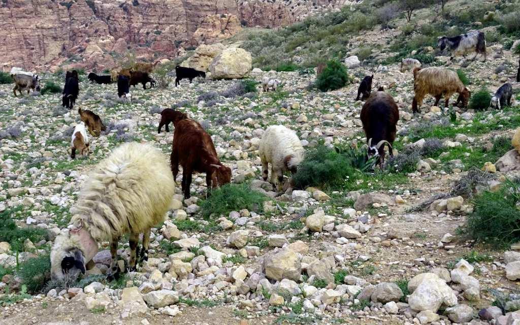 Schafe im Wadi Dana