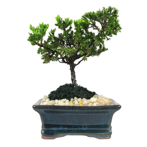 Petite Japanese Juniper Bonsai Tree