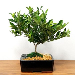 Large Gardenia Bonsai Tree