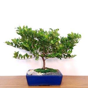 Specimen Gardenia Bonsai