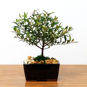 Small Cherry Blossom Bonsai Tree