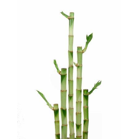 Lucky Bamboo Straight Stalk