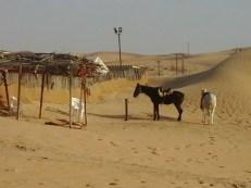 DesertSafariAD, vinneve