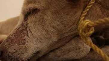 σκύλο κρεμασμένο σε ελιά στο Κοίλι Κύμης