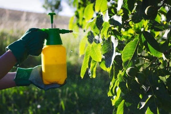 Spraying-pesticide-on-fruit