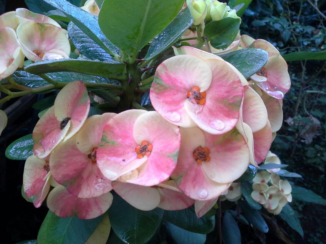 Bunga Mahkota Duri peninggalan ibu di desa