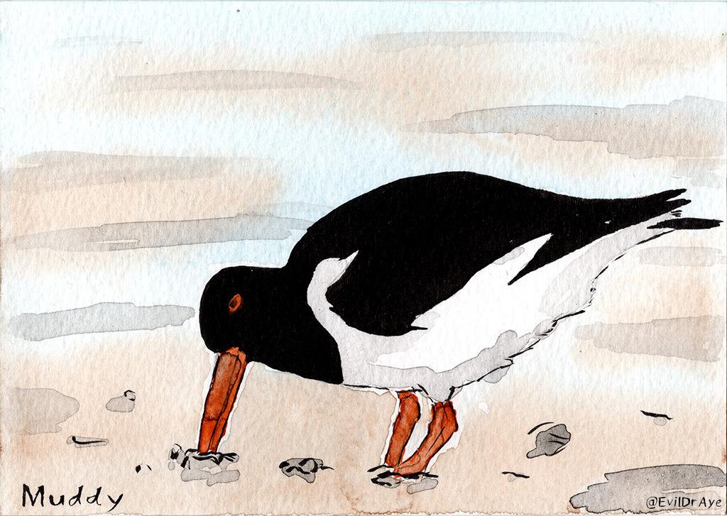 Oyster Catcher (Muddy)