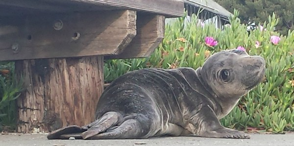 elephant-seal-pup-examiner