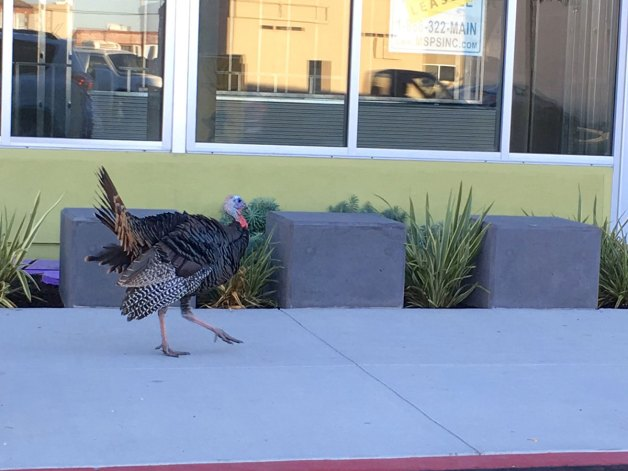 wild-turkeys-emeryville-01