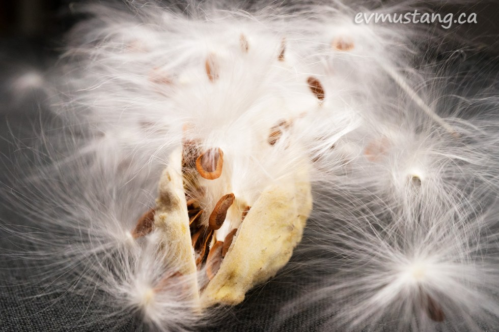 close up image of asclepias syriaca, common milkweed pod and seeds