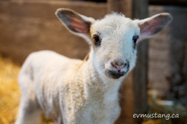 image of a day old ram lamb looking adorable