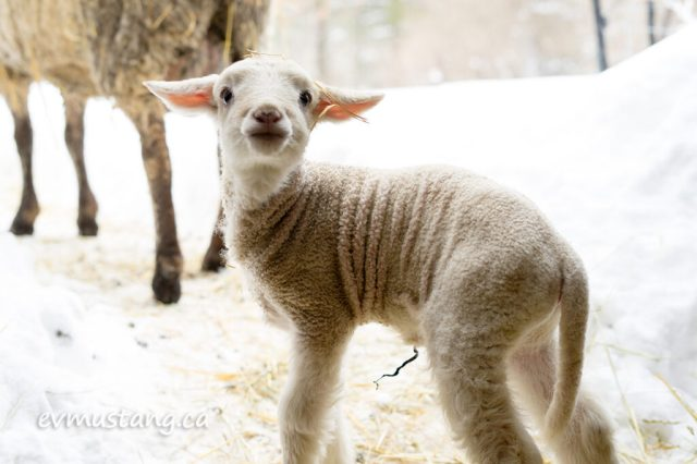 image of a lamb looking defiantly and invitingly at the camera with a funny look on his face