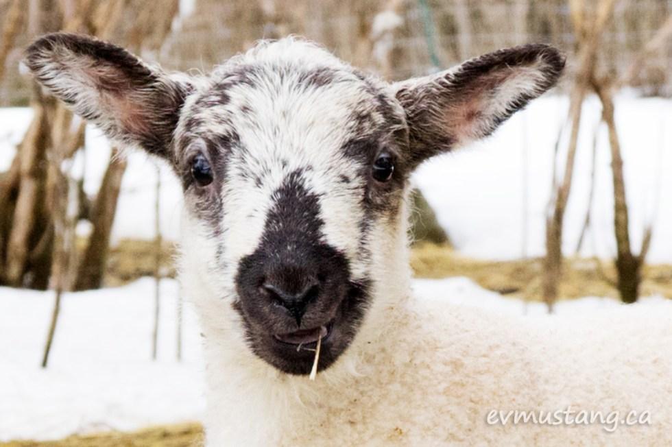 portrait image of boom's lamb