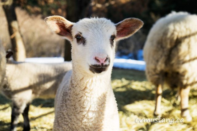 image of month old lamb looking into camera
