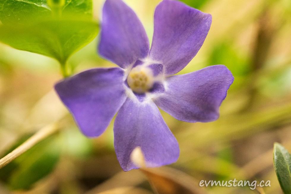 image of periwinkle flower