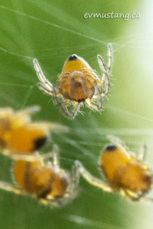 close up image of cross spider hatchling