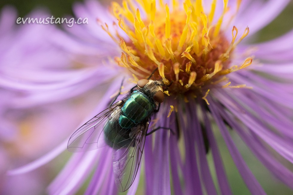 close up image of a green bottle fly on the yellow centre of a purple aster