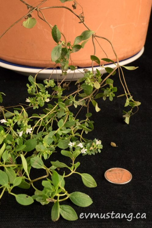 image of Origanum vulgare plant with dime for size comparison for tiny flowers