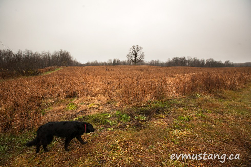 image of a rusty coloured fall field with a single tree and a black dog, mabel, in the foreground