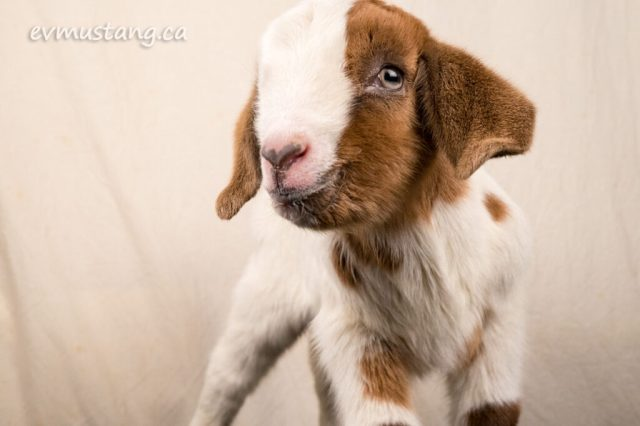 image of brown and white baby goat looking suave