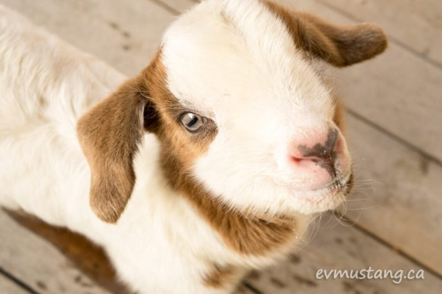image of baby goat face looking right at you and saying hey