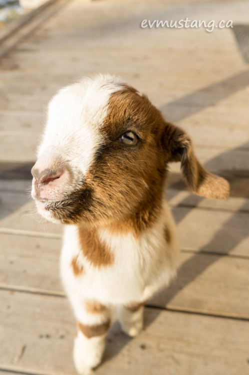 image of a brown and white baby goat looking boldly into the camera