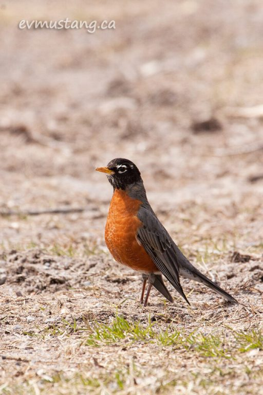 image of standing robin with wings almost dragging on the ground.
