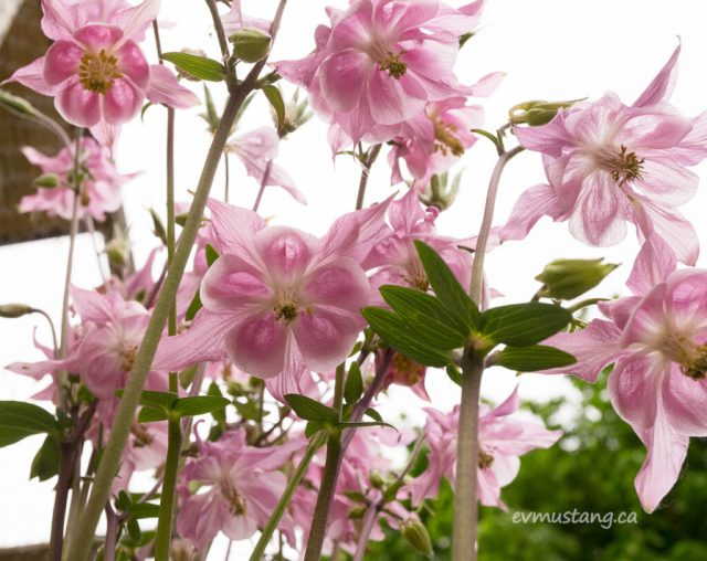 image of light pink columbine flowers shot from below, looking translucent against a hazy sky. scattered green leaves span the image and frame the flowers.