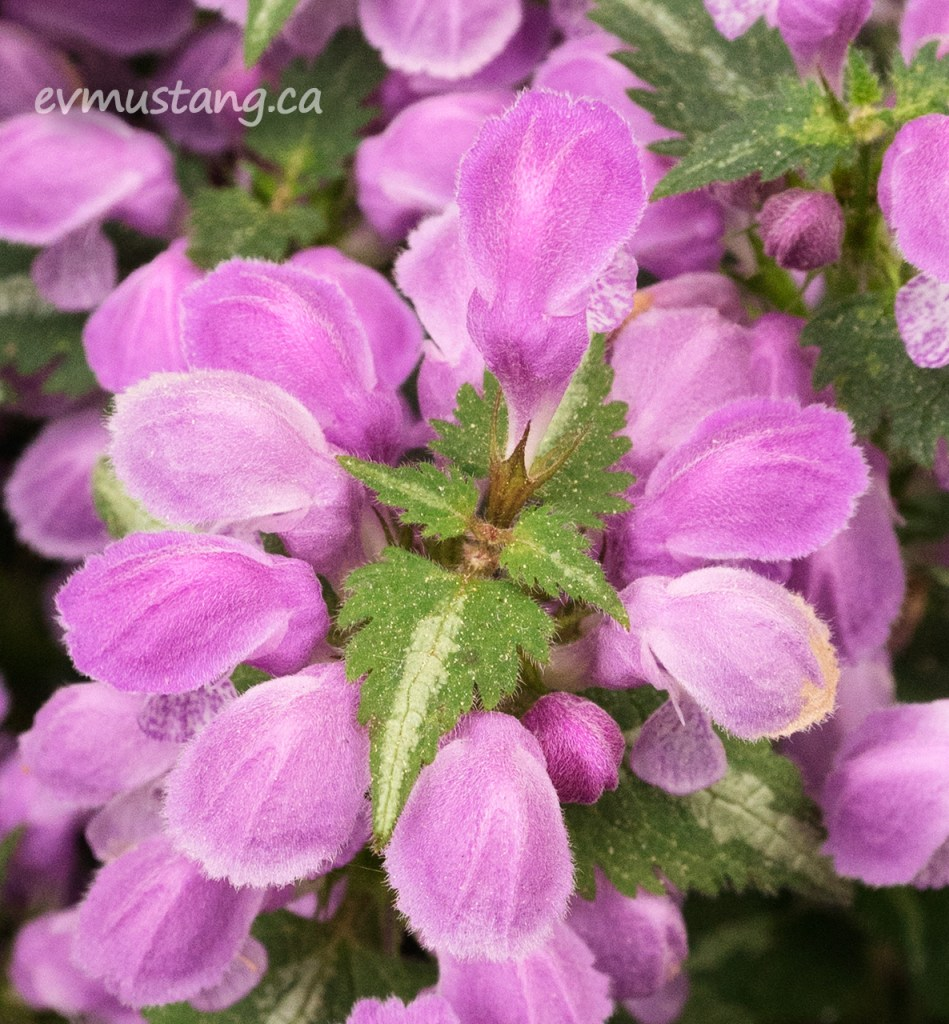 image of lamium flowers in bright mauve set against the variegated green and yellow leaves with a spiky stamen in olive and burgundy rising from the centre.