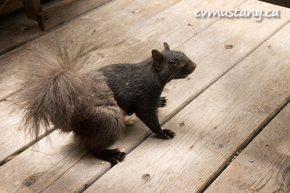 image of britches the eastern grey squirrel who is so named because he has sleek black fur on the front half of his body and fluffy grey fur on his butt and back legs. he is giving a side-eye to the camera
